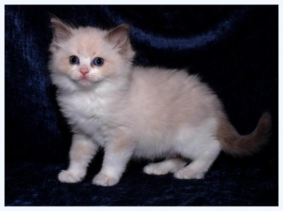 Blue Bicolor Male RAGDOLL Kitten OF TICA AND CFA VANILLABELLE RAGDOLL CATS AND KITTENS OF CENTRAL NEW YORK