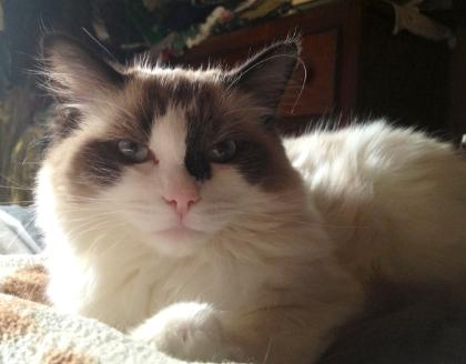 TICA AND CFA VANILLABELLE CATTERY SEAL BICOLOR FEMALE RAGDOLL CAT IN CENTRAL NEW YORK NEAR SYRACUSE AND UTICA