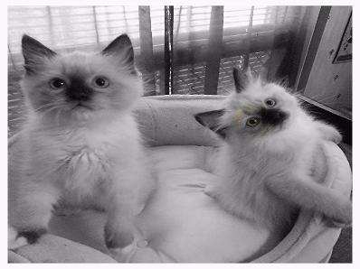 Vanillabelle Seal Mitted Male ragdoll kitten in Central New York tica and cfa cattery