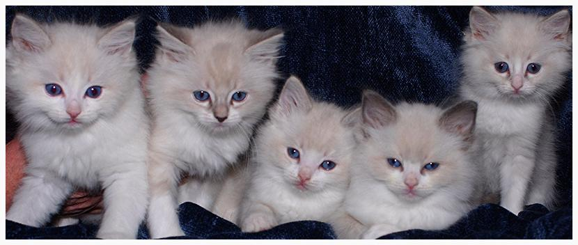 VANILLABELLE BLUE RAGDOLL KITTENS IN CENTRAL NEW YORK TICA AND CFA CATTERY NEAR SYRACUSE AND UTICA, A RAGDOLL BREEDR