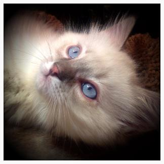 Vanillabelle Ragdolls kitten Chocolate Bicolor Male in Central New York tica and cfa breeding cattery