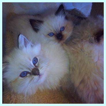 Blue Lynx Bicolor Ragdoll KITTEN FROM VANILLABELLE CATTERY IN CENTRAL NEW YORK
