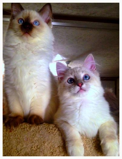 Seal Bicolor Female Ragdoll OF VANILLABELLE RAGDOLL CATS AND KITTENS A TICA AND CFA CATTEY IN CENTRAL NEW YORK